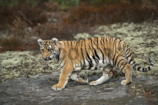 Indischer Tiger... Königstiger *Panthera tigris tigris*