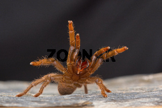 A tarantula of the genus Heterophroctus raised in aggression showing its fangs. Satara district, Maharashtra, India