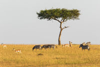 Zebras and gazelles at a lonely tree on the savanna