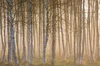 Sunrise fog in birch tree forest