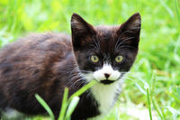 Black and white kitten on a green grass background