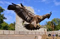 flying hawk attack
