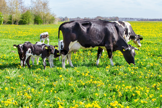 Mother cows with newborn calves in  spring meadow
