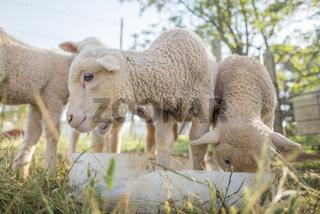 Little Lambs Feeding