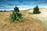 little pine trees on dune