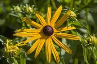 Sonnenhut - eine alte Heilpflanze