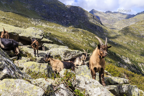Ziegen im Spronser Tal in Südtirol, Italien, Goats in Spronser Valley in south Tyrol, Italy