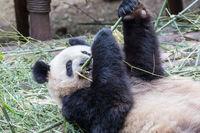 panda eating bamboo closeup
