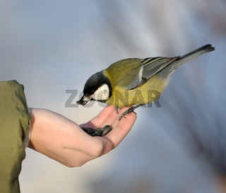 Titmouse on a hand.