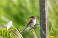 Red-backed shrike sitting on a barb wire