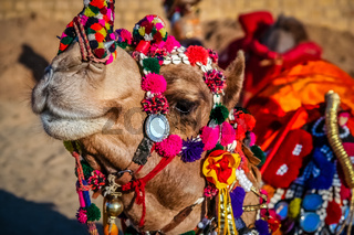 Dandified camel during camel festival