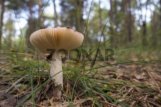 Kirschroter Spei-Täubling, Russula emetica