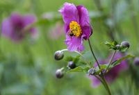 Herbstanemone (Anemone hupehensis)