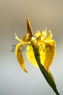 Gelbe Schwertlilie, Iris pseudacorus, Yellow flag, Yellow Iris, Deutschland, Germany