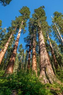 Sequoia tree in Calaveras Big Trees State Park