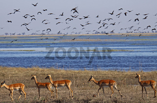 Impalas am Chobe-Fluss im Chobe Nationalpark Botswana