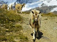 Herde Ziegen auf dem Abstieg von der Bergweide ins Tal