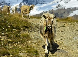 Herde Ziegen auf dem Abstieg von der Bergweide ins Tal, Saas-Fee, Wallis, Schweiz