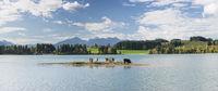 Kuhherde auf Insel im Forggensee im Allgäu