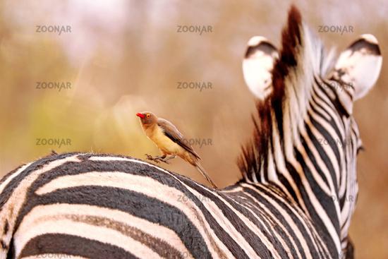 Rotschnabel-Madenhacker auf Zebra, Red-billed oxpecker jumping on a zebra, Südafrika