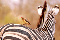 Rotschnabel-Madenhacker auf Zebra, Red-billed oxpecker jumping on a zebra, Südafrika