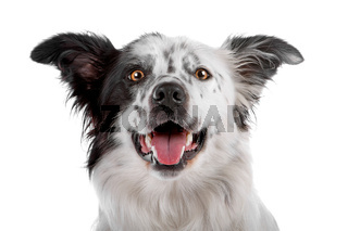 border collie sheepdog
