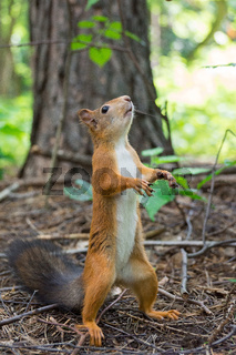 Squirrel stands on its hind legs
