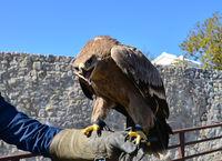 hawk on bird trainer hand