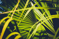 palm leaf closeup, inside tropical garden  - plant background