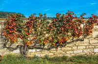 Old vine in the autumn colors, Burgundy, France