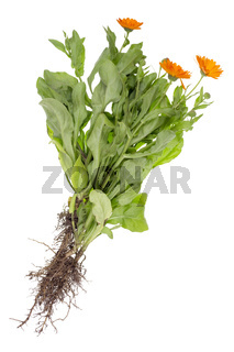 A real summer bush of medical marigold with roots, leaves and flowers