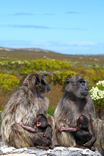 Bärenpaviane im Nationalpark Kap der guten Hoffnung, Südafrika, baboons at national park Cape of Good Hope, South Africa