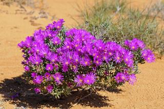 Blühender Busch von Lampranthus sp.