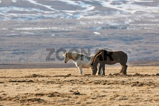 Horse grazing in Iceland