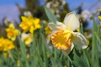 Narzisse der Sorte Salome - the Daffodil flower is called Salome