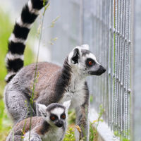 ring tailed lemur family