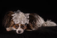 Beautiful dog Continental Toy Spaniel Papillon with white bow on his head on a black background