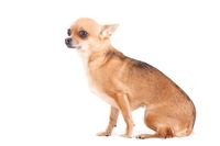 chihuahua on white sitting
