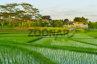Bali rice fields at sunset