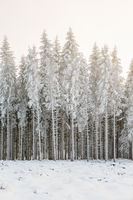 Wintry spruce forest with frost at a clearcut area