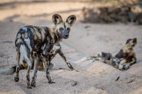 Pack of African wild dogs in the sand.