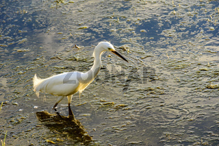 Young white heron walking