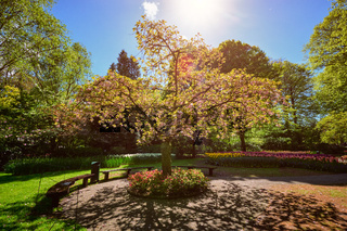 Blooming tree in Keukenhof flower garden, Netherlands