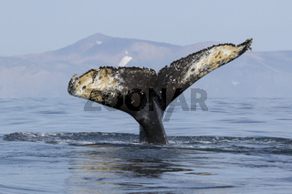 Tail humpback whale who dives into the water on the background of the shore