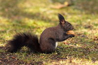 cute hungry squirrel from the park eating walnut on the ground ( Sciurus vulgaris )