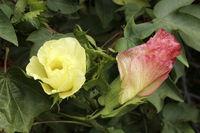 Baumwollblueten, Cotton flowering