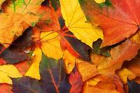 Autumn multi colored maple leafs