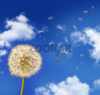 Dandelion seeds blowing in the wind