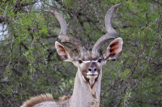 a greater kudu in the Kruger national park South Africa