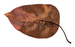 back side of decayed autumn leaf of apple tree